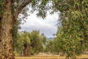Xylella fastidiosa, Coldiretti denuncia 18 piante infette a Locorotondo