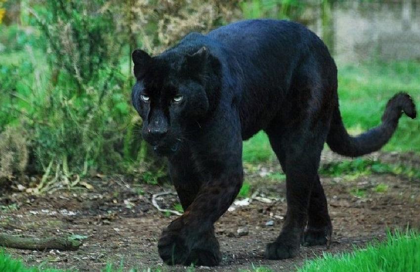 Summonte – Il Criuv frena: nessun segnale sonoro, per ora niente caccia alla pantera in Irpinia