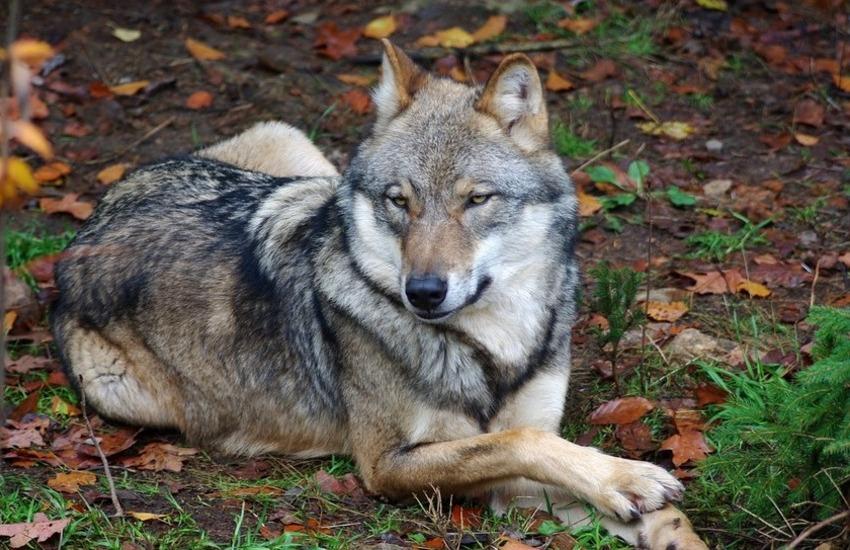 aggredita da un lupo