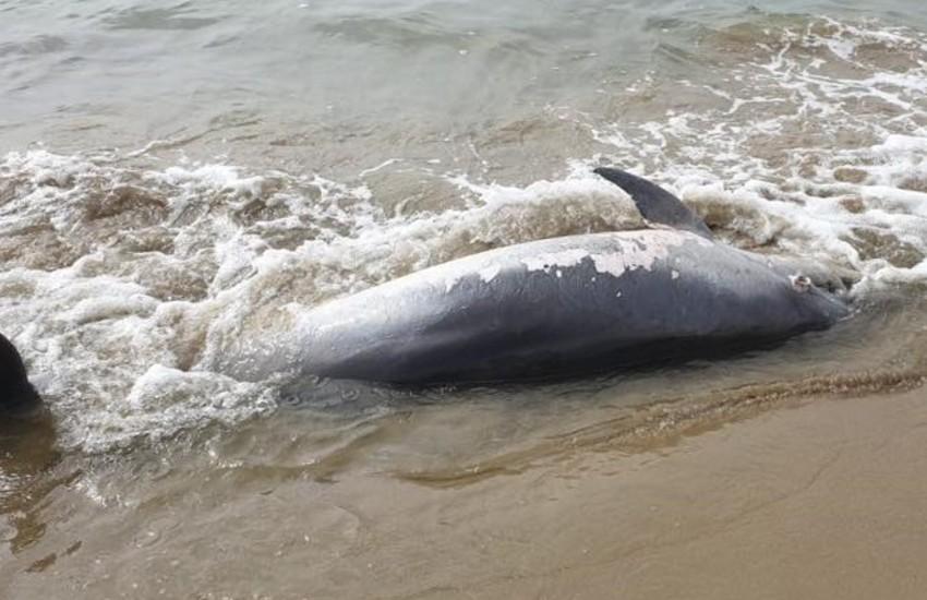 Altro delfino trovato morto in provincia di Latina