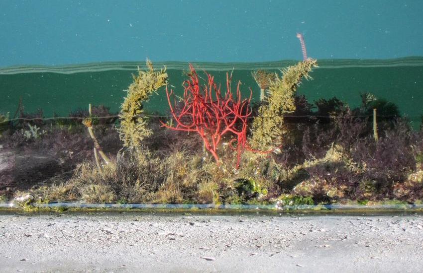 Gorgonia-Leptogorgia-sarmentosa specie aliene