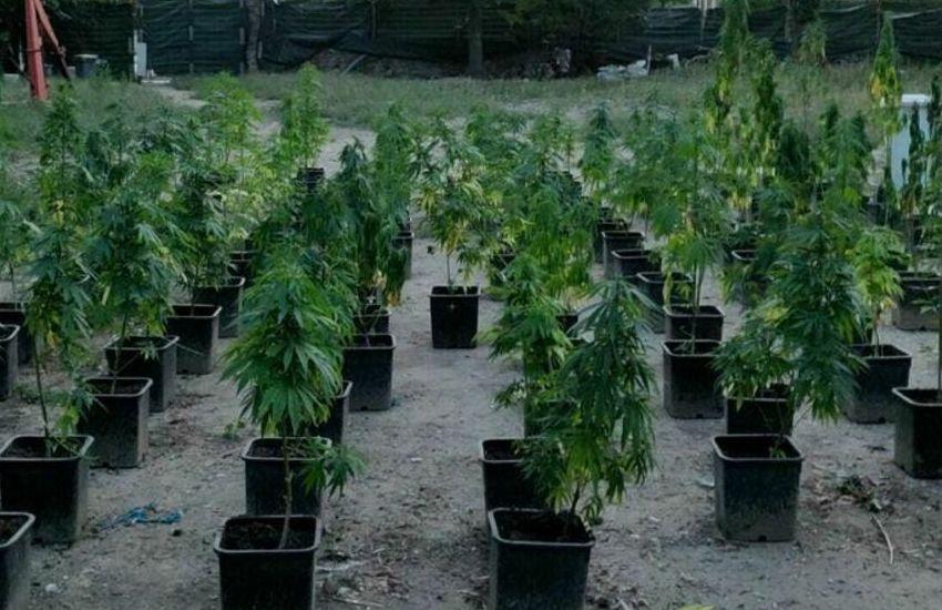 Este, scoperta una coltivazione di marijuana: sequestrate 100 piantine
