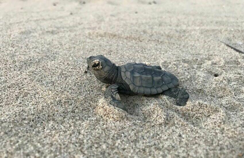 Uova di Caretta Caretta sulla spiaggia di Rosa Marina: cinquanta piccole tartarughe raggiungono il mare nella notte