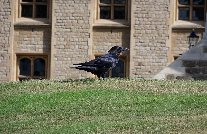 corvo Torre di Londra