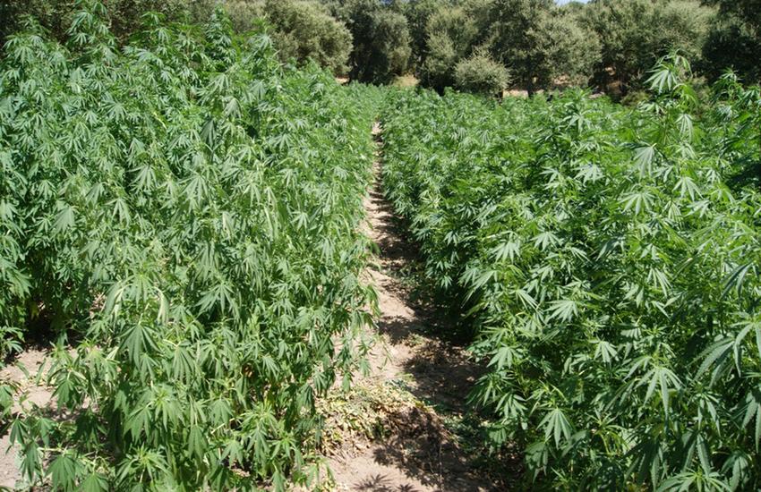 Carmignano, arrestato quarantenne: coltivava pomodori fagioli e marijuana