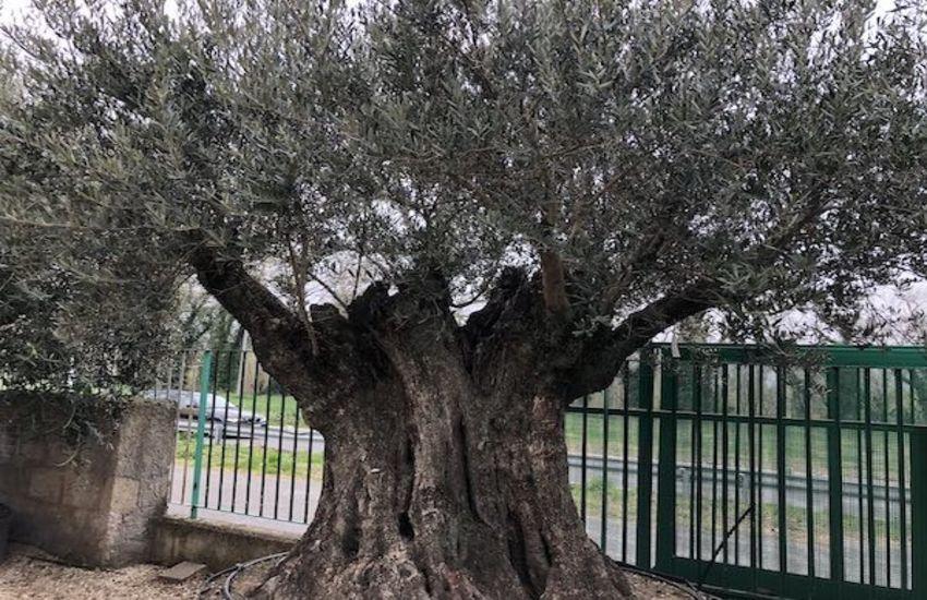 """""""L'olivo di Montemurlo"""", sabato 12 settembre un convegno a Villa Giamari"""