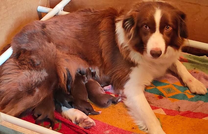 Diventata mamma di  5 cuccioli Piper, il cane antidroga della municipale