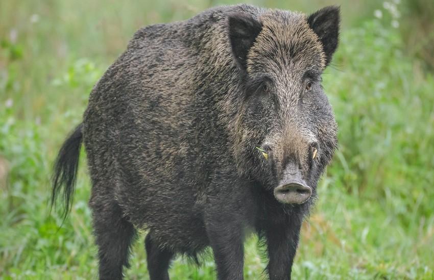 Piemonte, il pericolo viene dal cinghiale: 50 intossicati per averne mangiato le carni crude