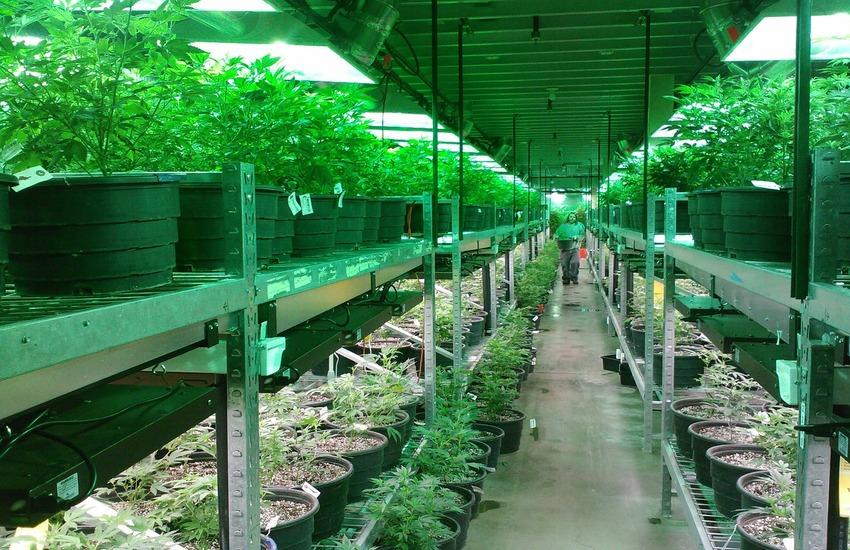 Milano: Coltivava 950 piantine di marijuana, arrestato