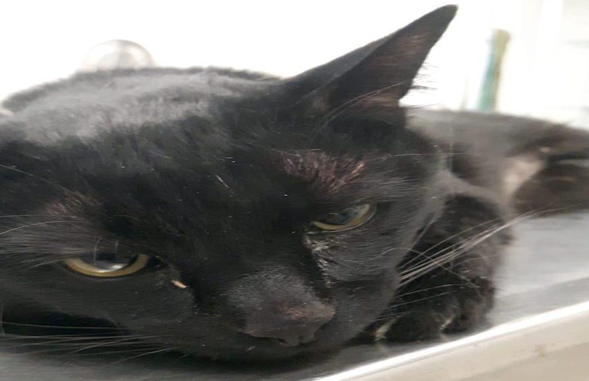 Chi l'ha smarrita? Gattina nera trovata in via Pannocchia