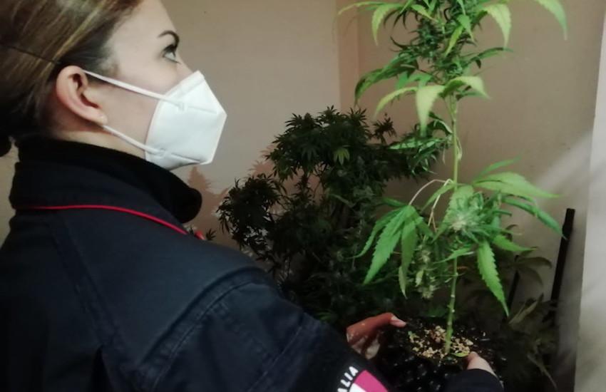 Salsomaggiore, nel garage aveva una serra con 300 piante di canapa: arrestato