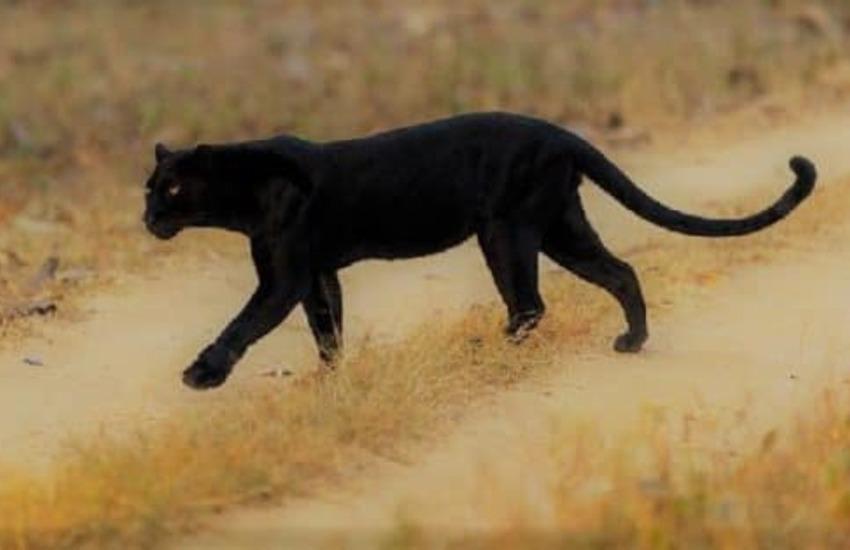 Continua il mistero della pantera nera. Nel pomeriggio avvistata a Matino