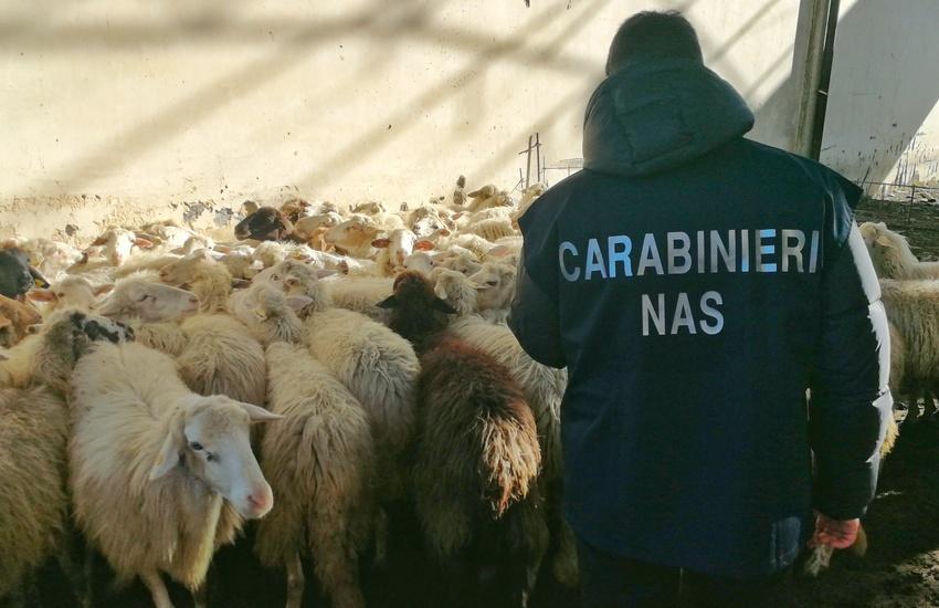 Scordia, i Nas sequestrano  bestiame e farmaci. Denunciato veterinario