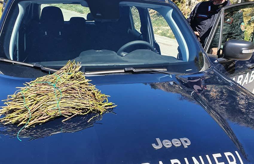 400 controlli: sequestrati oltre 87 kg di asparagi selvatici e sanzioni per 16mila euro