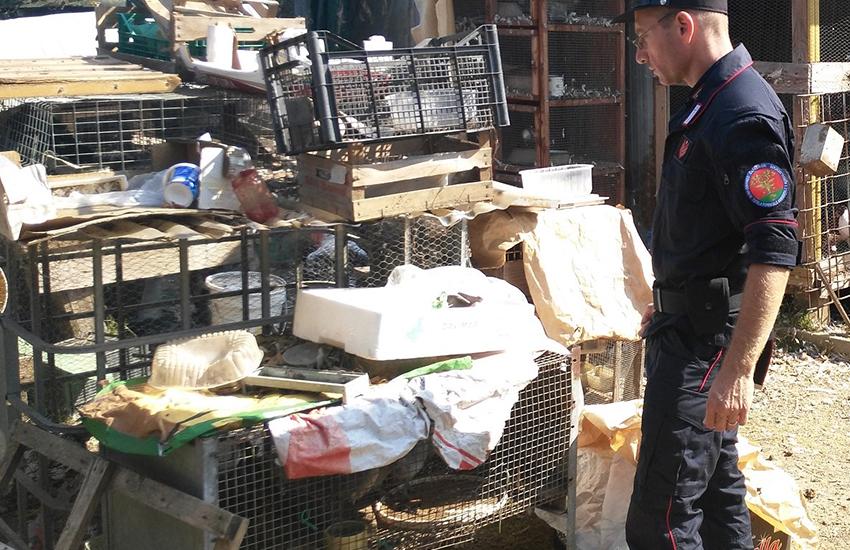 Sesto, cani maremmani tenuti male, rifiuti e violazioni: denunciato 50enne