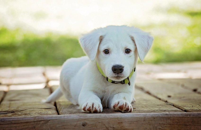Covid: cresce il traffico dei cuccioli a 300 mln
