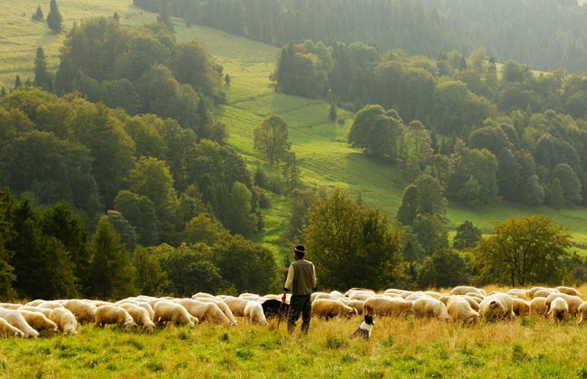Lupi e allevamento: via al bando regionale per la protezione del bestiame