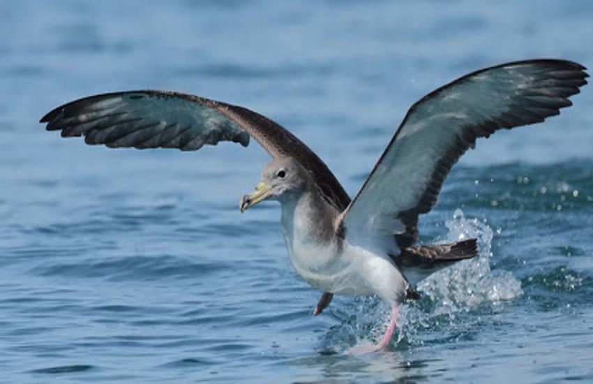 Eolie: al via progetto per censimento uccelli marini