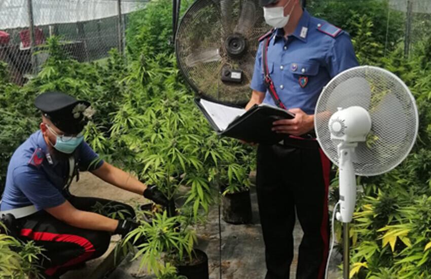 Coltivavano marijuana in serra da destinare allo spaccio a Pontinia e Sabaudia, sequestrati 150 chili di marijuana