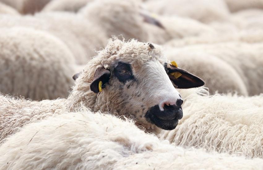 Roghi nell'Oristanese: allevatore mette in salvo 400 pecore