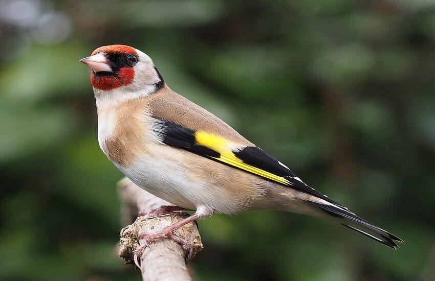 Palermo – Tenta di esportare uccelli di specie protetta, fermato dalla Guardia di Finanza