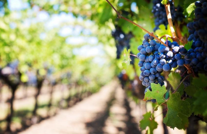 Lombardia: Coldiretti stima calo 15% per raccolta uva da vino
