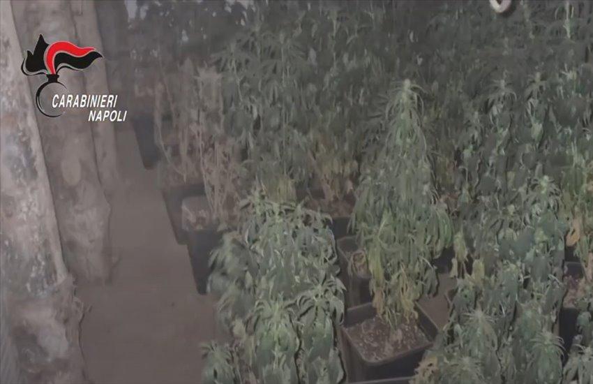 Sequestrata un'ampia coltivazione di cannabis e sostanze stupefacenti tra i Monti Lattari ed il Monte Faito (VIDEO)