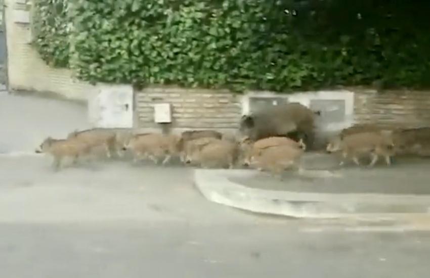 Un'intera famiglia di… cinghiali a spasso per Roma (Video)