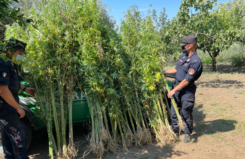Caserta, scoperta ancora una piantagione di cannabis sui Colli Tifatini