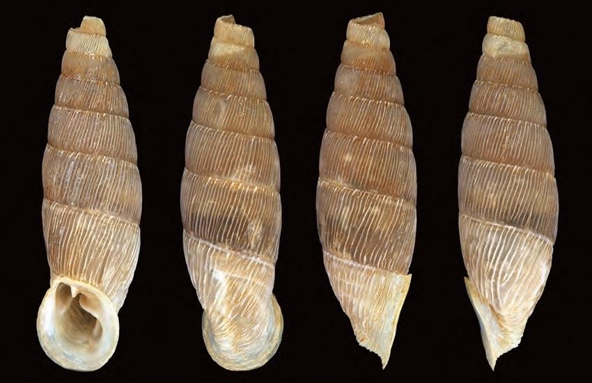 """Isola delle Femmine, scoperta chiocciola endemica, il sindaco: """"Un'altra perla…"""""""