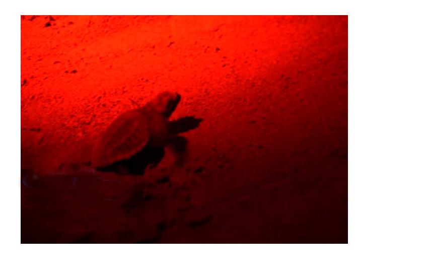 Jesolo, schiusa uova tartaruga Caretta Caretta: la soddisfazione del sindaco