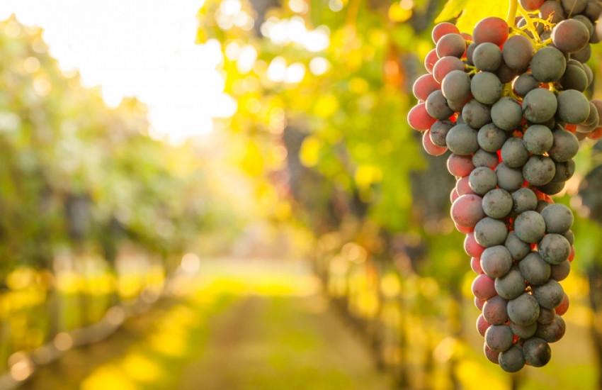 Vitivinicolo. Bando della Regione Veneto a sostegno del settore. Coldiretti: fino al 15 novembre per presentare le istanze all'Avepa