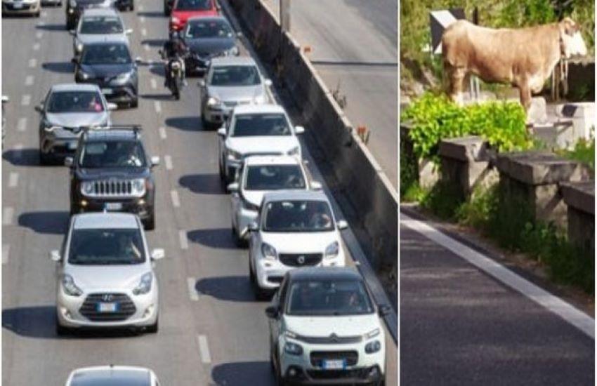 """Roma mobilità segnala: """"C'è un toro sulla Laurentina"""", web in delirio"""